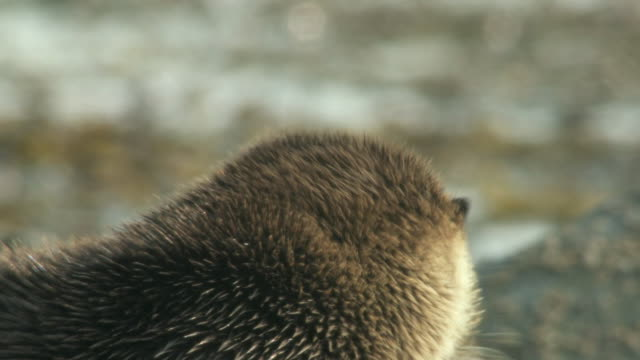cu european otter (lutra lutra) on rocky shore, grooming / argyll, scotland - european otter stock videos & royalty-free footage