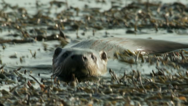 cu european otter (lutra lutra) swimming and diving in seaweed / argyll, scotland - european otter stock videos & royalty-free footage
