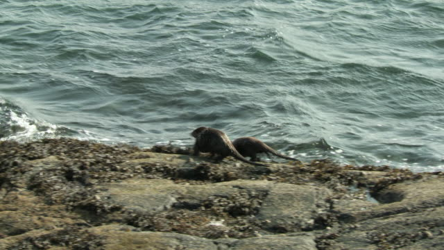 ws european otter (lutra lutra) with cub swimming near rocky shore / argyll, scotland - european otter stock videos & royalty-free footage