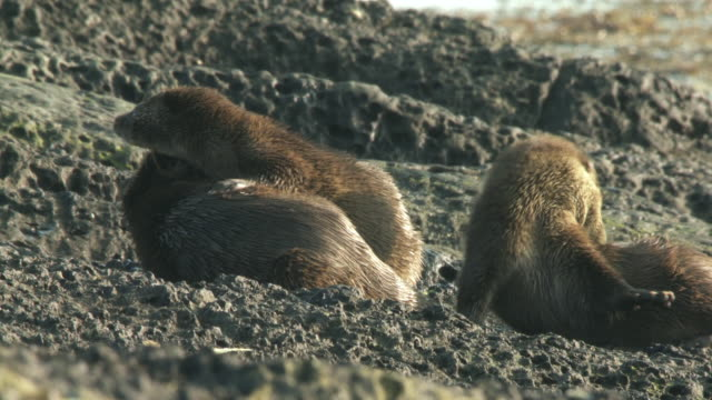 ms european otter (lutra lutra) with two cubs on rocky shore, grooming and suckling / argyll, scotland - european otter stock videos & royalty-free footage