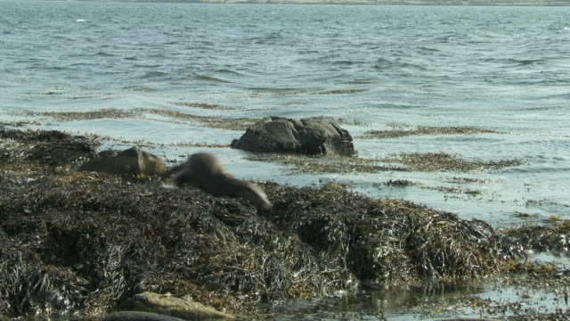 ms pan european otters (lutra lutra) swimming and diving in seaweed / argyll, scotland - european otter stock videos & royalty-free footage