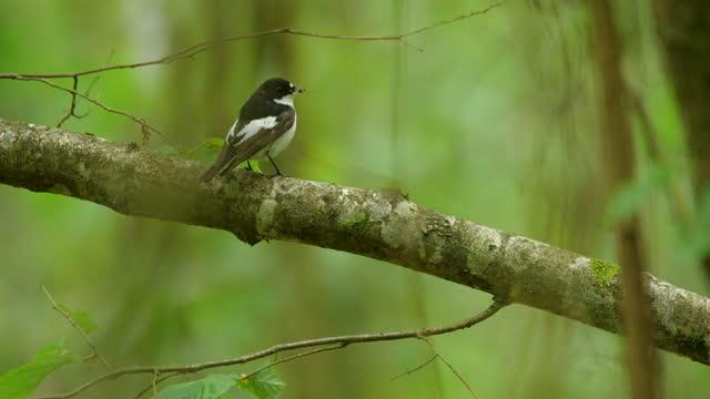 europäischer fliegenfänger (ficedula hypoleuca) singvogel mit insekt, weißrussland - tierisches verhalten stock-videos und b-roll-filmmaterial