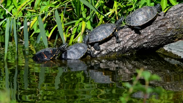 european pond terrapin, emys orbicularis, in summer - animal shell stock videos & royalty-free footage