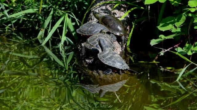 european pond terrapin, emys orbicularis, in summer - tierkörper stock-videos und b-roll-filmmaterial