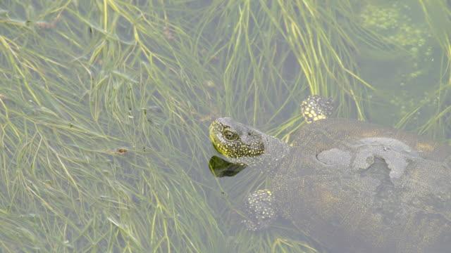 europäische teichschildkröte (emys orbicularis) - aserbaidschan - süßwasser stock-videos und b-roll-filmmaterial