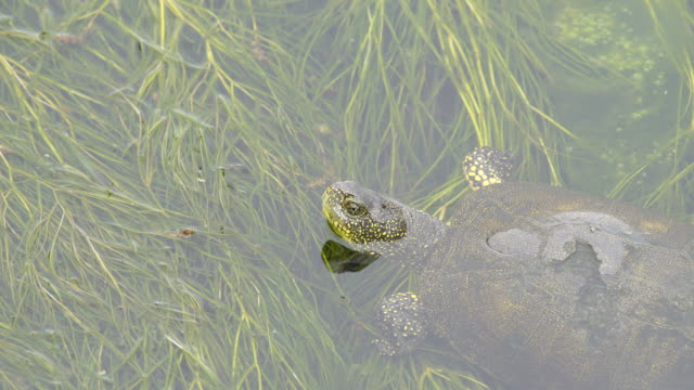 european pond turtle (emys orbicularis) - azerbaijan - freshwater stock videos & royalty-free footage