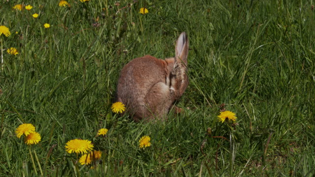 European Rabbit or Wild Rabbit, oryctolagus cuniculus, Adult gooming among Flowers, Normandy, Real Time 4K