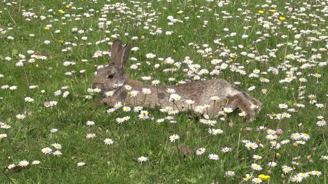 European Rabbit or Wild Rabbit, oryctolagus cuniculus, Adult laying on Flowers, Normandy, Real Time