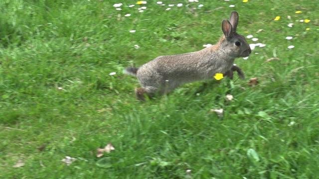 european rabbit or wild rabbit, oryctolagus cuniculus, adult running on grass, normandy, slow motion - rabbit animal stock videos & royalty-free footage