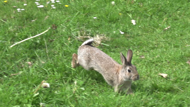vidéos et rushes de european rabbit or wild rabbit, oryctolagus cuniculus, adult running on grass, normandy, slow motion - lapin