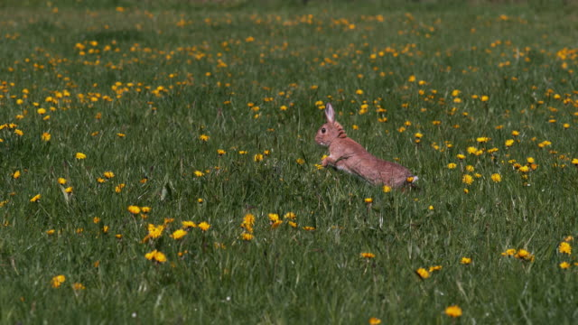 European Rabbit or Wild Rabbit, oryctolagus cuniculus, Adult running through Flowers, Normandy, Slow motion 4K