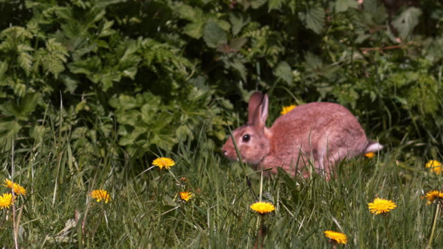 european rabbit or wild rabbit, oryctolagus cuniculus, adult running through flowers, normandy, slow motion - uncultivated stock videos & royalty-free footage