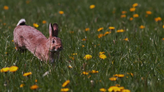 vidéos et rushes de european rabbit or wild rabbit, oryctolagus cuniculus, adult running through flowers, normandy, slow motion - lapin