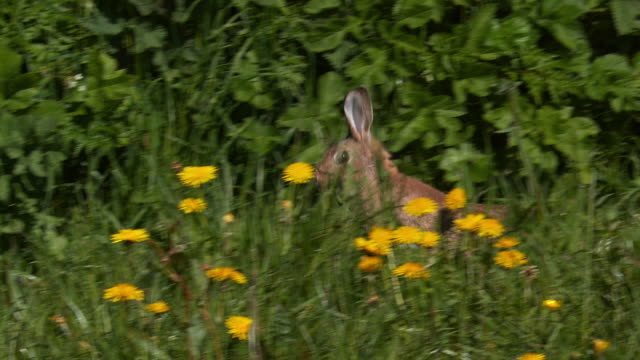 European Rabbit or Wild Rabbit, oryctolagus cuniculus, Adult running through Flowers, Normandy, Slow motion