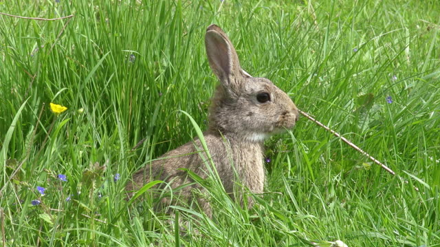 vidéos et rushes de european rabbit or wild rabbit, oryctolagus cuniculus, adult standing on grass, normandy, real time - lapin