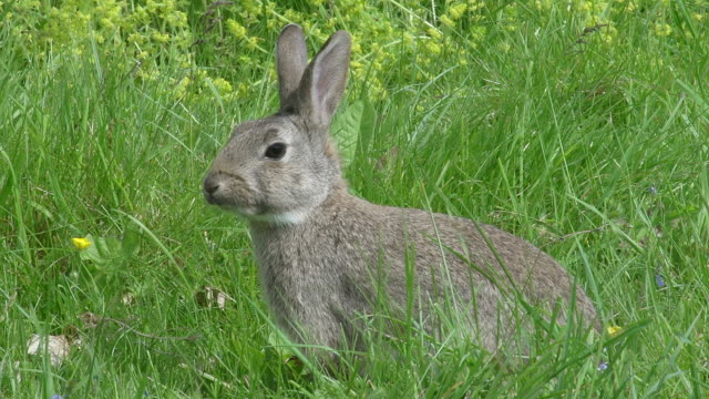 european rabbit or wild rabbit, oryctolagus cuniculus, adult standing on grass, normandy, real time - alertness stock videos & royalty-free footage