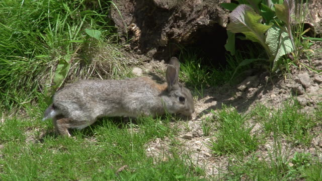 European Rabbit or Wild Rabbit, oryctolagus cuniculus, Adult standing at Den Entrance, Normandy, Real Time