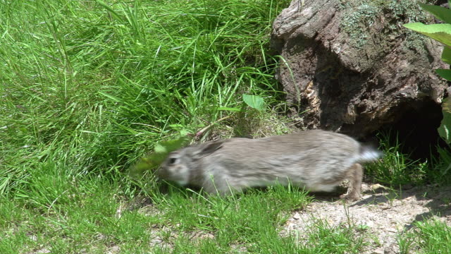 european rabbit or wild rabbit, oryctolagus cuniculus, adult standing at den entrance, normandy, real time - loch stock-videos und b-roll-filmmaterial