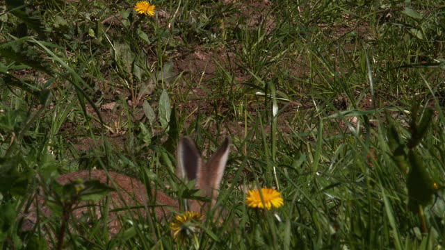 European Rabbit or Wild Rabbit, oryctolagus cuniculus, Adult walking through Flowers, Normandy, Real Time