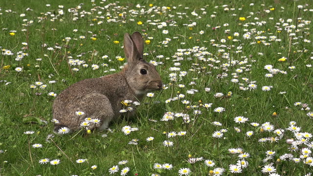 vidéos et rushes de european rabbit or wild rabbit, oryctolagus cuniculus, adult with flowers, normandy, real time - lapin