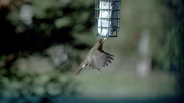 european robin, erithacus rubecula, adult flying to bird trough, eating  and flying back, slow motion - thrush stock videos & royalty-free footage