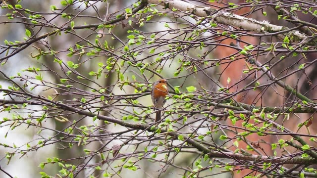 european robin on twig - twig stock videos & royalty-free footage