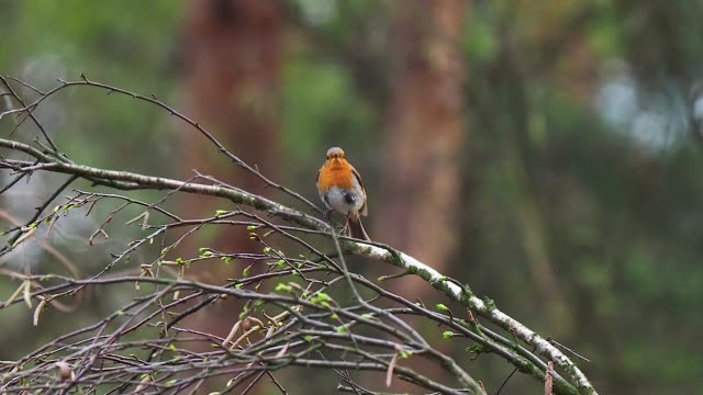european robin on twig - twig stock videos & royalty-free footage