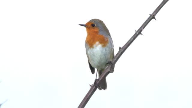 european robin - birdsong stock videos & royalty-free footage