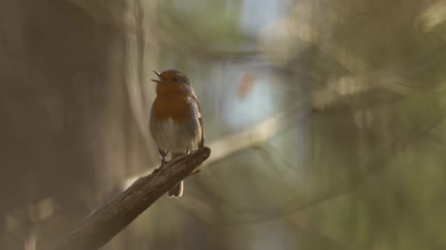 european robin (erithacus rubecula) - bird's nest stock videos & royalty-free footage