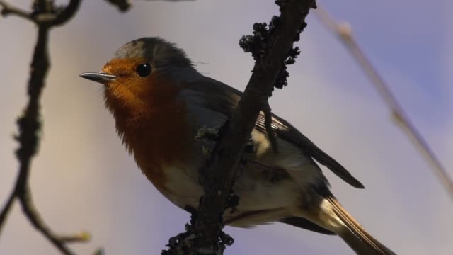 european robin (erithacus rubecula) - uccello video stock e b–roll