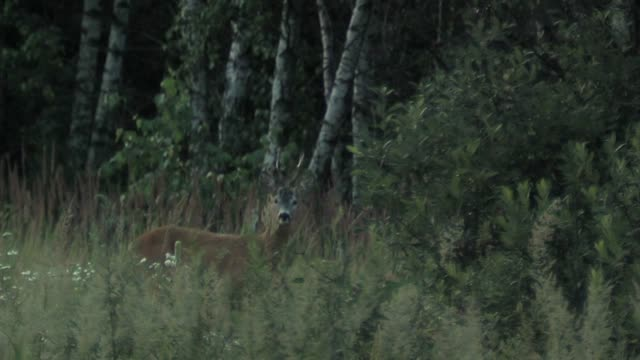 european roe deer (capreolus capreolus) - deer stock videos & royalty-free footage