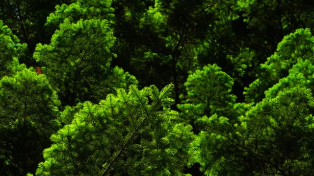European silver fir or silver fir (Abies alba), Bujaruelo valley, Sobrarbe, Huesca Province, Aragon, Spain, Europe