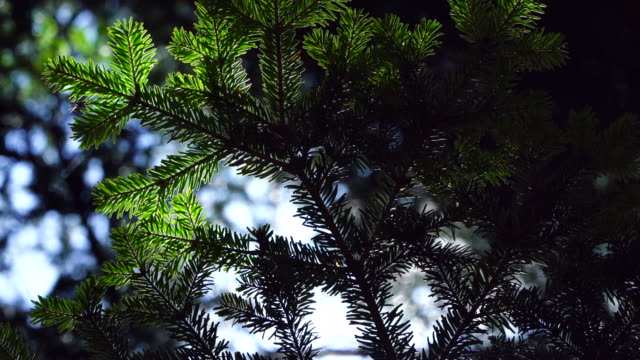 European Silver fir or Silver fir (Abies alba), Bujaruelo Valley, Sobrarbe, Huesca, Aragon, Pyrenees, Spain, Europe
