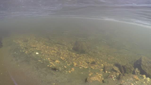 Europäisches Gerh (Osmerus eperlanus) Kurilen-Inseln