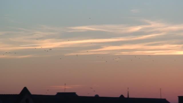 European Starlings flying in swarm