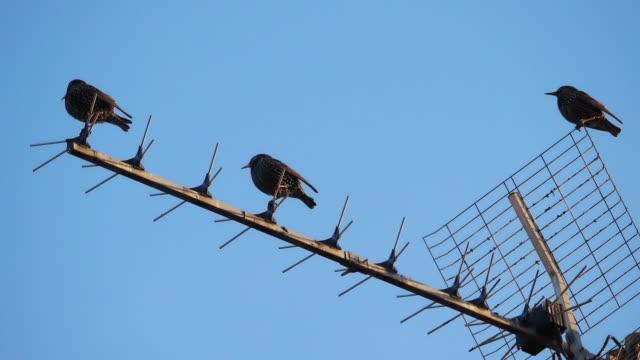 european starlings (sturnus vulgaris) perched on a television antenna - antenna parte del corpo animale video stock e b–roll