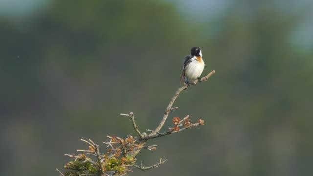 european stonechat (saxicola rubicola) kuril islands - birdsong stock videos & royalty-free footage