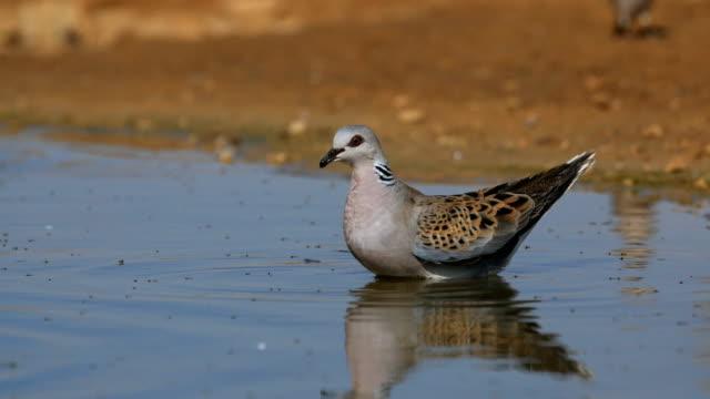 vídeos de stock e filmes b-roll de european turtle dove/streptopelia turtur- coming to drink at a water pool in the desert - cinco animais