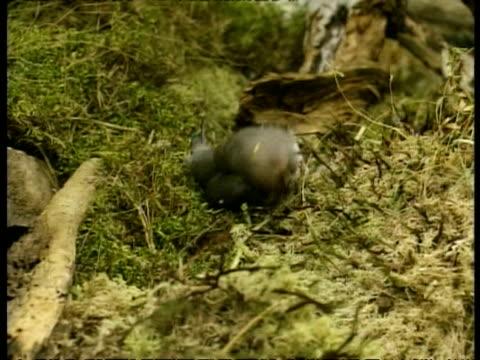 ms european weasel dragging large bird, series, arctic circle - dragging stock videos & royalty-free footage
