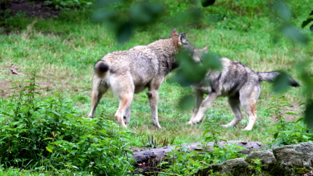 European wolfs playing in the prairie