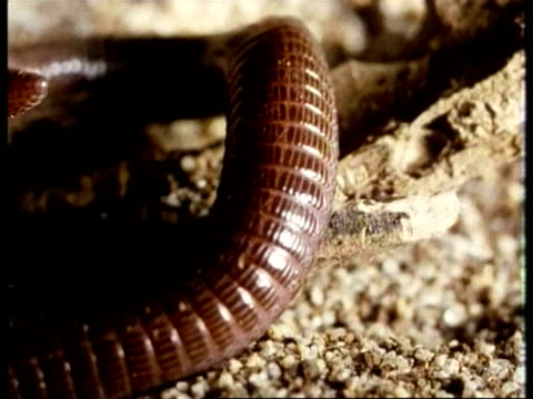 cu european worm lizard, blanus cinereus, burrowing into the ground, edited sequence, united kingdom; sequence of clips, special terms apply - burrow stock videos & royalty-free footage