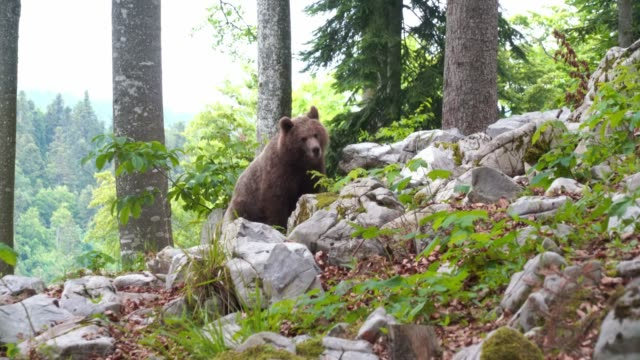 european young brown bear wild in the forest in slovenia - violence stock videos & royalty-free footage