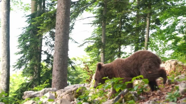 european young brown bear wild in the forest in slovenia - named wilderness area stock videos & royalty-free footage