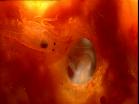 eusocial shrimp enters through hole in sponge, belize - handgun stock videos & royalty-free footage