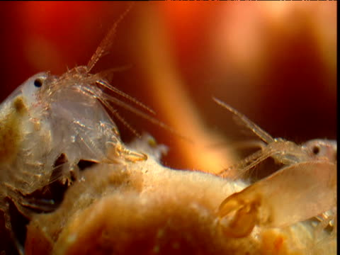 eusocial shrimps fighting in sponge, belize - handgun stock videos and b-roll footage