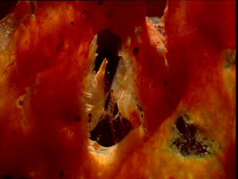 eusocial shrimps in sponge, belize - zuschnappen stock-videos und b-roll-filmmaterial