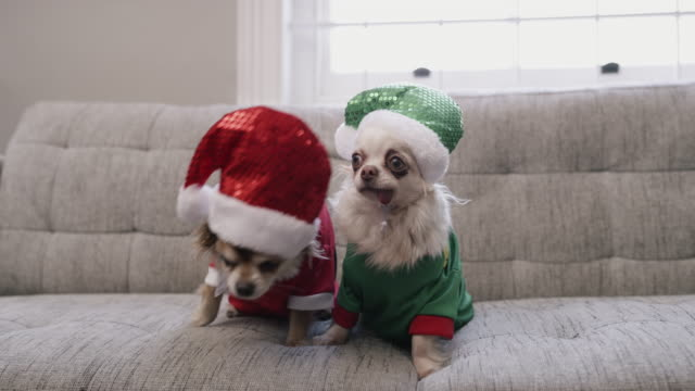 even these furry cuties are getting into the festive spirit - animal hair stock videos & royalty-free footage