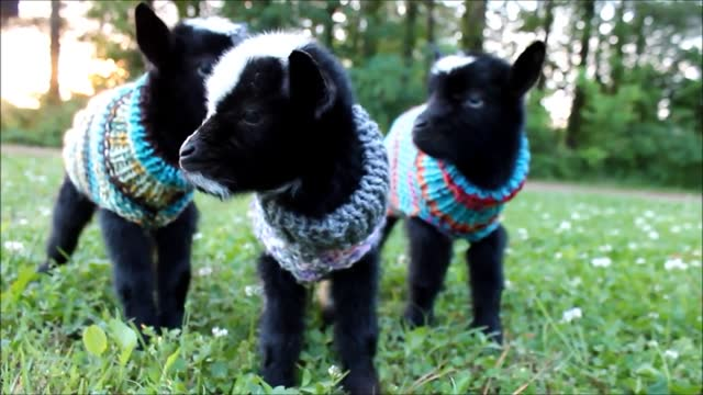 even when chilly weather reaches tennessee, britney's goats are well looked after in their cozy sweaters. their mother naomi has never had triplets... - cosy stock videos & royalty-free footage
