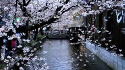 Evening. Blooming Sakura in Kyoto.
