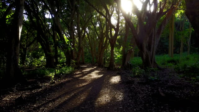 Evening Light Filtering Through Trees on Hidden Path on Maui